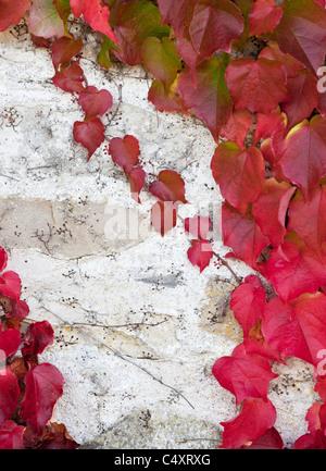 Boston ivy  showing Autumn colours - Stock Photo