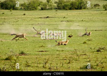 Cheetah and cubs chasing Thomson's gazelle, Masai Mara, Kenya - Stockfoto