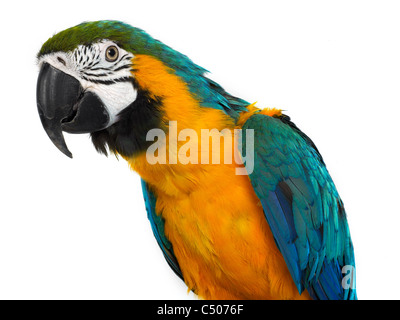 A portrait of a macaw, a new world parrot. - Stock Photo