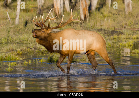 An adult bull Roosevelt elk walks through a pond while bugling, near Portage, Alaska, Autumnm. CAPTIVE - Stock Photo