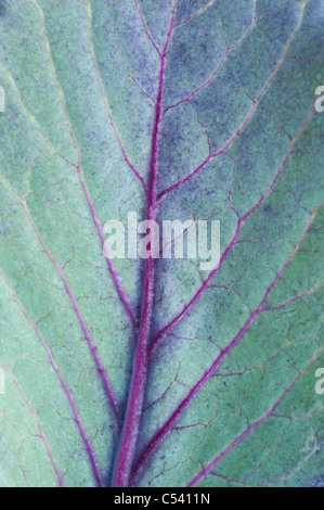 Cabbage redcap leaf pattern - Stock Photo