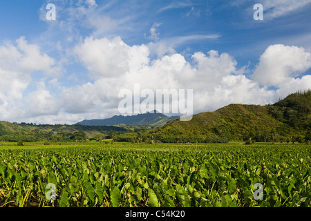 Taro Fields in Hanalei Valley Kauai, Hawaii - Stock Photo