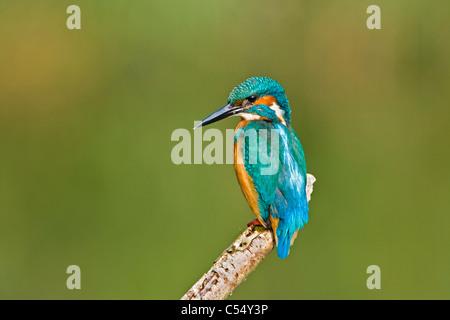 The Netherlands, Lelystad, National Park called Oostvaarders Plassen. Common Kingfisher perched on branch. ( Alcedo - Stockfoto