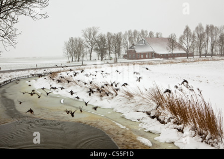 The Netherlands, Usquert, Ducks flying in front of farm. Snow. - Stock Photo