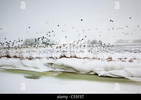 The Netherlands, Usquert, Snow in canal with farm in background. Ducks flying. - Stock Photo