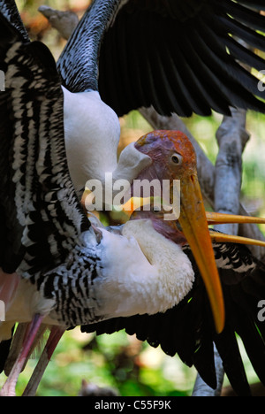 Painted storks mating - Stock Photo