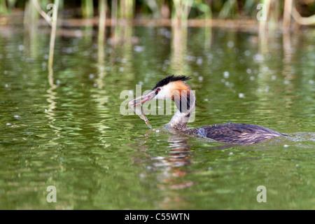 The Netherlands, Werkendam, De Biesbosch national park. Great Crested Grebe, Podiceps cristatus, with fish. - Stock Photo