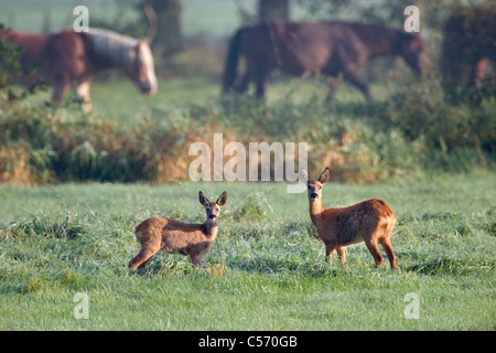 The Netherlands, 's-Graveland, Couple of deer or roe with horses in background. - Stock Photo
