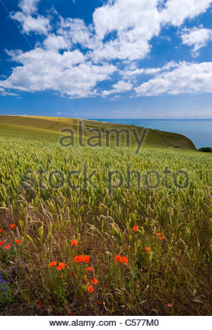 Field of barley, White Cliffs area, Kent, England. - Stock Photo