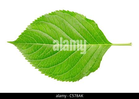 Single Hydrangea leaf isolated on white - Stock Photo