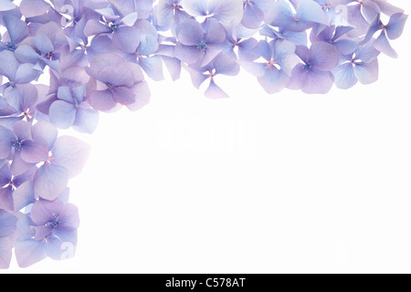 Blue hydrangea flower border - Stock Photo
