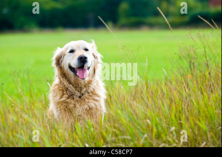 A beautiful, old, female golden retriever taking a break, sat in a field whilst out for a walk in the countryside - Stock Photo
