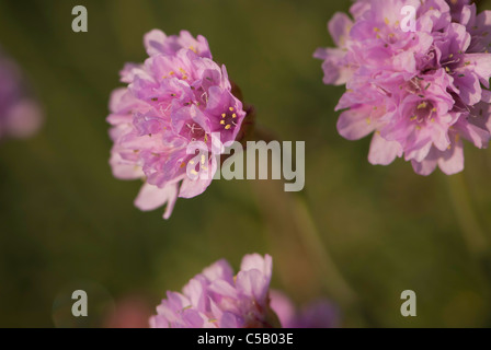 Sea pink flower also known as thrift armeria maritima on clifftop close up of armeria maritinum flower also known as thrift or sea pinks mightylinksfo Image collections