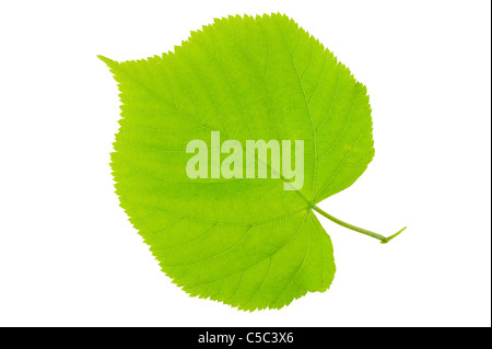 Close-up of a basswood leaf over white background - Stock Photo