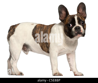 French Bulldog, 8 months old, standing in front of white background - Stock Photo