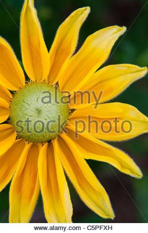 Rudbeckia hirta 'Prairie Sun'. Black-eyed Susan 'Prairie Sun' flower - Stock Photo