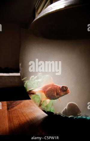 Black Moor fish in fish bowl - Stock Photo