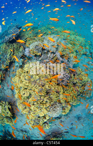 Salad coral with thousands of anthias, Nuweiba, Red Sea, Sinai, Egypt - Stock Photo