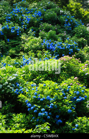 Hydrangea on Mount Gomado, Tagami, Minamikanbara, Niigata, Japan - Stock Photo