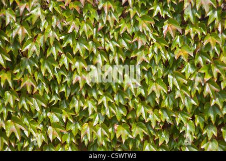 Boston Ivy Vine (parthenocissus tricuspidata) - Stockfoto