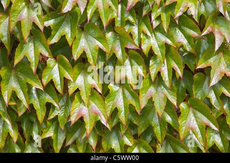 Boston Ivy Vine (parthenocissus tricuspidata) - Stock Photo