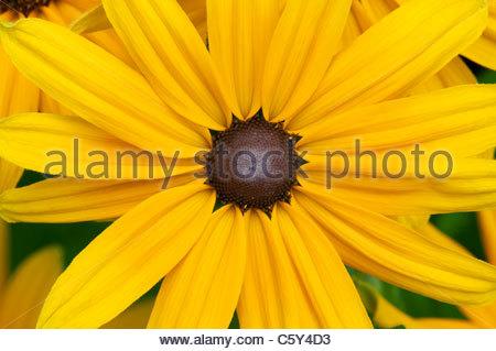 Rudbeckia 'Indian Summer' flower. Black-eyed Susan 'Indian Summer' - Stock Photo