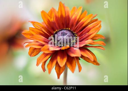 Rudbeckia hirta 'Autumn Colours'  Colors - black eyed Susan - Stock Photo