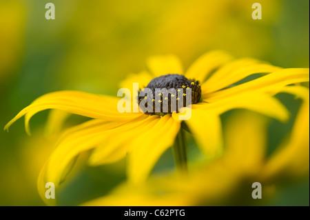 Rudbeckia Fulgida  var. sullivantii  'Goldsturm' yellow coneflower - Stock Photo