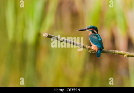 Male Common Kingfisher (Alcedo atthis) perched - Stockfoto