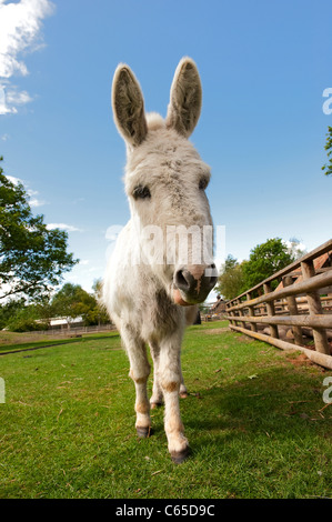 Close up of a grey donkey in a paddock. - Stock Photo