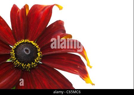 Rudbeckia hirta Moreno . Black-eyed Susan Moreno coneflower on white background - Stock Photo