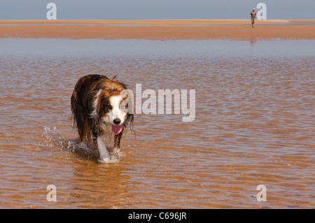 A border collie dog running on the beach at Wells-next-the-sea , Norfolk , England , Britain , Uk - Stock Photo