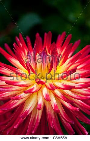 Dahlia 'Weston Spanish Dancer' flower. Cactus dahlia - Stock Photo