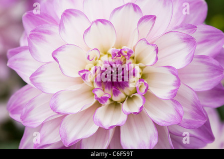 Dahlia 'Audacity'. Close up of flowerhead. - Stock Photo
