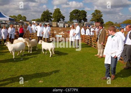 Sheep are judged in a show ring at the Bucks County Show 2011 - Stock Photo