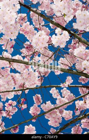 Pink cherry blossom tree - Stock Photo