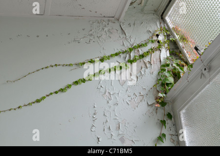 Boston Ivy (Parthenocissus tricuspidata) entering old building. Surrey, England - Stockfoto