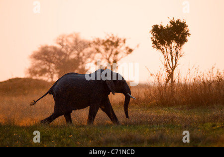 Running on a sunset. An elephant running in beams of the sunset sun. Savanna. The coming sun. - Stock Photo
