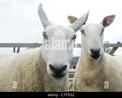 Two angry looking white border leicester sheep - Stockfoto