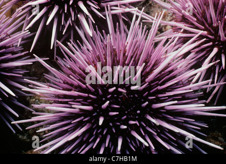 Colony of Purple Sea Urchins (Strongylocentratus purpuratus) feeding on kelp. Channel Islands, California (USA) - Stockfoto