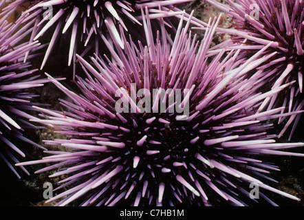 Colony of Purple Sea Urchins (Strongylocentratus purpuratus) feeding on kelp. Channel Islands, California (USA) - Stock Photo