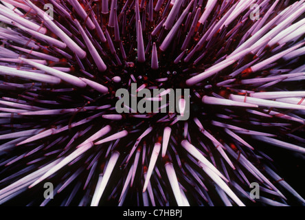 Purple Sea Urchin (Strongylocentratus purpuratus). Channel Islands, California (USA) - Pacific Ocean - Stockfoto