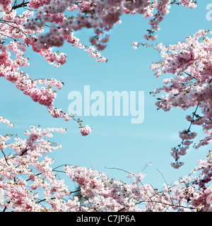 Pink cherry blossoms against blue sky - Stock Photo