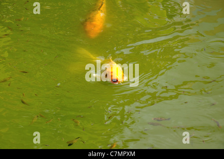 Koi carp swimming at surface of water full frame stock for Pool koi aquatics ltd