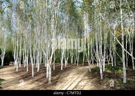White Birch trees garden of Himalayan birch Uk - Stockfoto