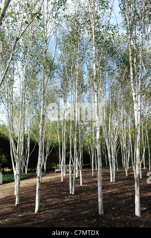 White Birch trees in garden of Himalayan birch Uk - Stockfoto