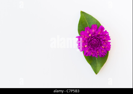 Gomphrena globosa .  Globe Amaranth or Bachelor Button flower on a white background - Stock Photo