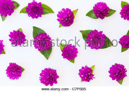 Gomphrena globosa .  Globe Amaranth or Bachelor Button flowers on a white background - Stock Photo