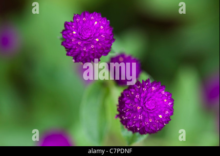 Gomphrena globosa .  Globe Amaranth or Bachelor Button flowers in India - Stock Photo