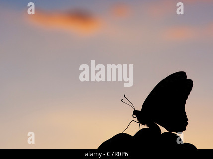 Papilio demoleus . Lime butterfly silhouette in the Indian countryside - Stock Photo